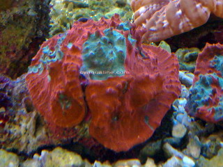 Chalice Red (Echinophyllia)