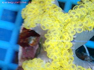 Euphyllia anchora Hammer Head Orange