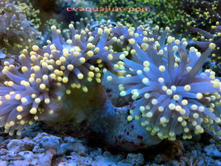 Torch Orange Euphyllia glabrescens