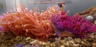 Purple Long Tentacle Anemone