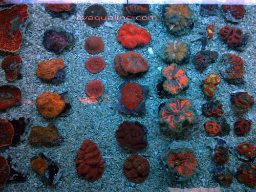 Assorted Corals